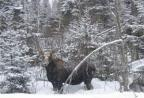 Winter moose picture